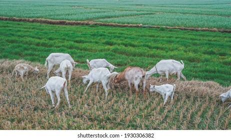 Goat grazing in the field