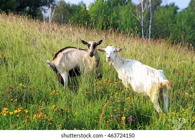 goat grazing in a field