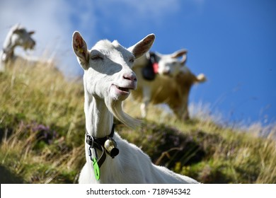 Goat grazing in a funny way on a hill, its goatee waving in the wind, with more goats scattered in the background out of focus