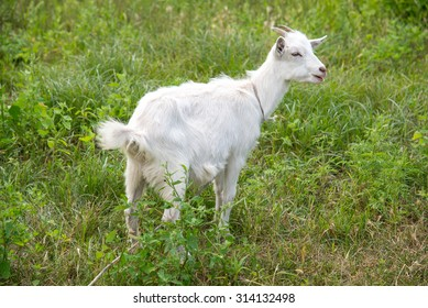 Goat grazing on grass