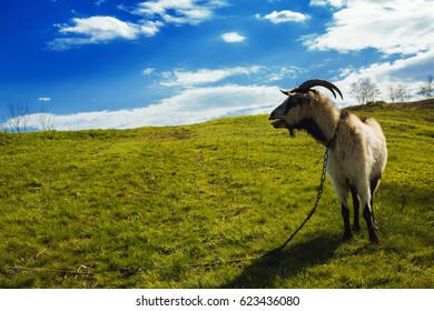 Goat grazing on a rural meadow amidst lush green grass and flowers in a beautiful sunny day
