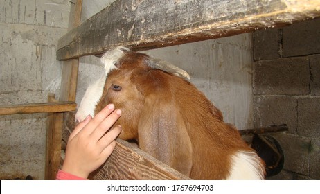 goat 			the hand of a girl caressing the head of a goat 			close up the head of a goat 			closeup dairy goat shed 			farm animals 			goats 			farm animal, milk 			animal, animals, wildlife, nature 			animal fold 			animal barn