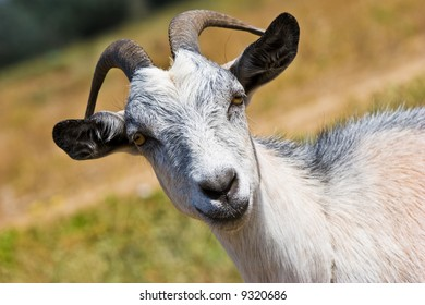 A goat head close up on a meadow
