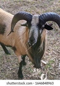 goat with horn brown and black