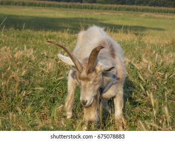 a goat with horns in the pasture