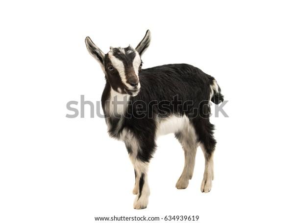 Goat isolated on white background