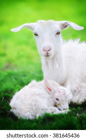 A goat and  just born yeanling in spring field