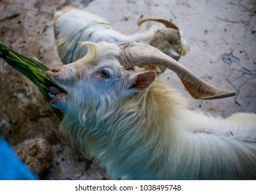 goat kept in the zoo