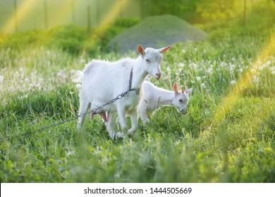 Grazing Goat Images, Stock Photos & Vectors | Shutterstock