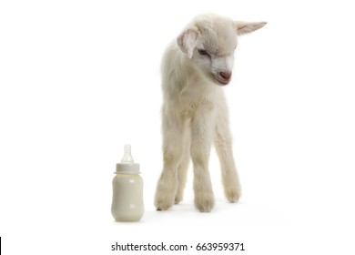 goat kid with a milk bottle isolated on white