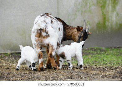goat and goat kid  on straw in front of shed