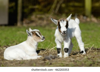 goat kid standing and lying on pasture