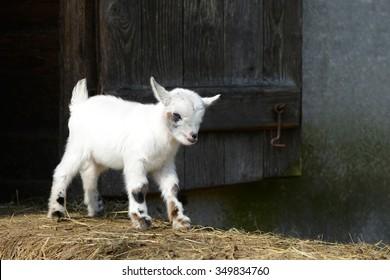 Goat kid standing on straw