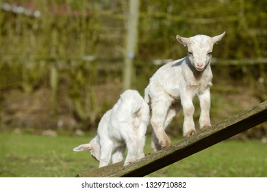 goat kid standing on wooden scaffolding