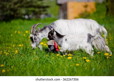 goat with a kid walking on grass