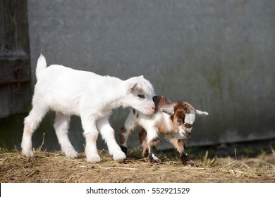 goat kids standing  on straw in frond of shed