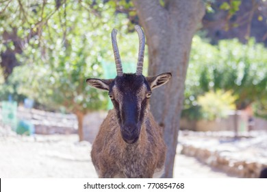 Goat kri-kri in Samaria Gorge, Crete, Greece. Tourists can feed these wild goats with only one leaf.