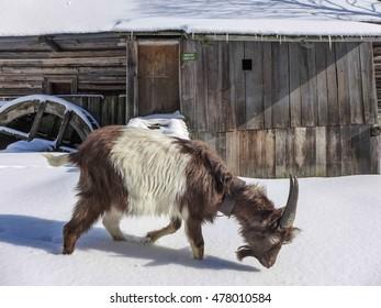 Goat in Kvacianska dolina - Oblazy, Slovakia