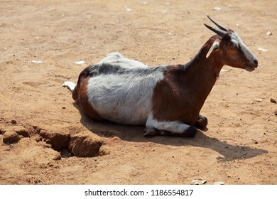 goat laying on ground in summer time.
