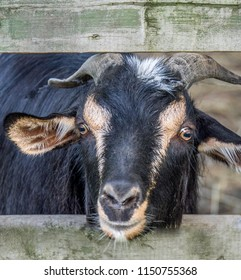 Goat leaning through the boards of a wooden fence