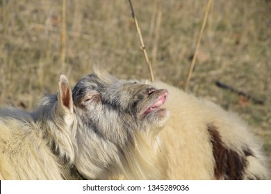 The goat lifts his lip and sniffs pheromones. goat sexual behavior during mating.