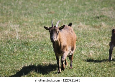 Goat living on a meadow free-roaming / Organic farming / Species-appropriate animal husbandry