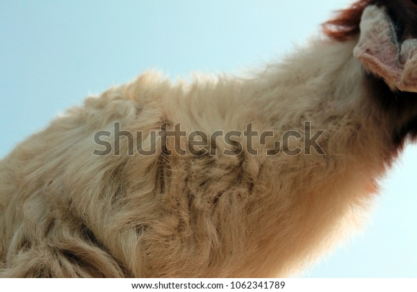 Goat long Hair close up Background