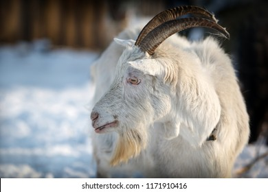 Goat with long horns enjoy the white winter