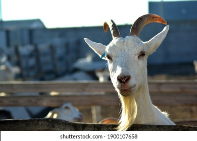 goat looking out of the aviary
