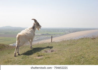Goat looking out onto the coast in Somerset, brean sands cliff
