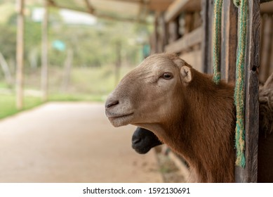 goat looking through a fence