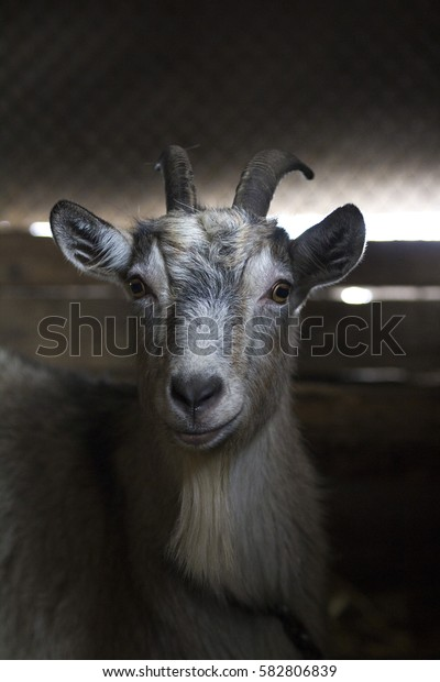 Goat looking at you. Goat in a barn.Farm