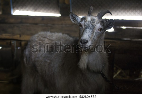Goat looking at you. Smiling animal. Goat in a barn. Rural