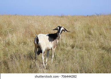 Goat looks at you