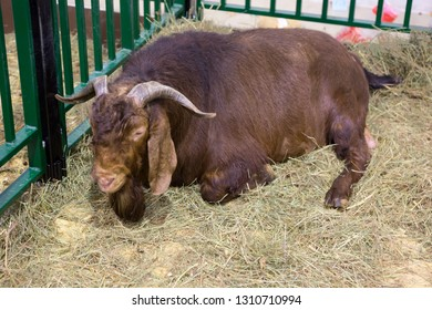 Goat (male). Kalahari red breed. Kalahari red goat is a meat breed originating from South Africa. Animals are very large and have a red color. They have a long and highly flexible ears.