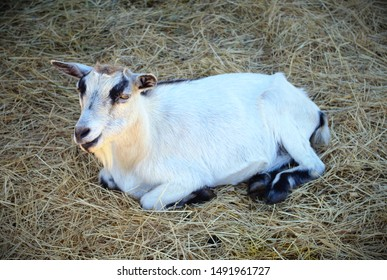 goat mammal farm animal lying in straw