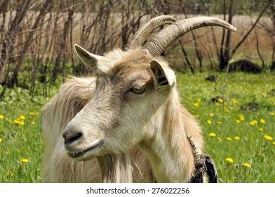 Goat in meadow. Goat grazing grass at the meadow. Goat on a summer pasture.