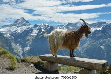 Goat model posing in Swiss Alps near Grindelwald First