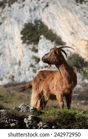 A goat in the mountains