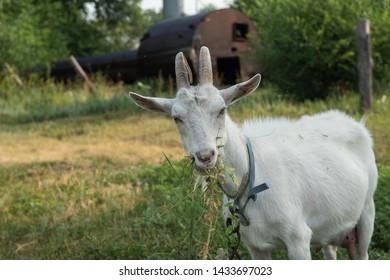 goat nature koza animals village - Shutterstock ID 1433697023