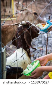 Goat in the net cage are waiting food from tourists in the farm