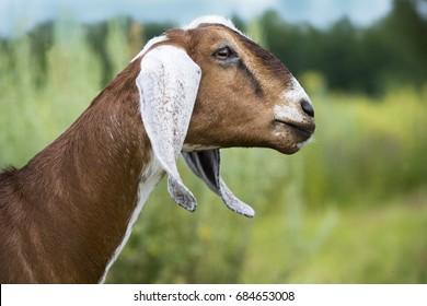 Goat Nubian