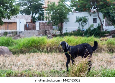 A goat on a farm on a late summer afternoon in south India