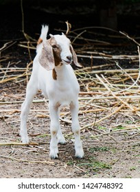 Goat on the farm at Phatthalung Thailand.
