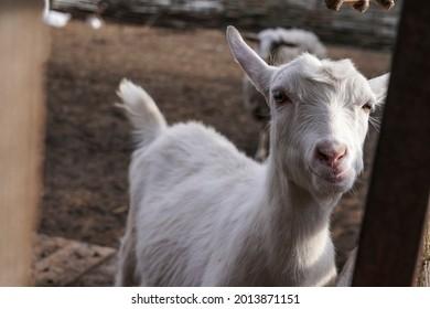 Goat on the farm, white