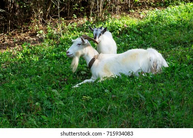 A goat on the grass.