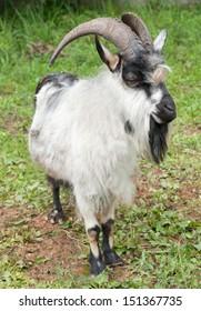A goat on green grass