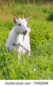 Goat on green meadow