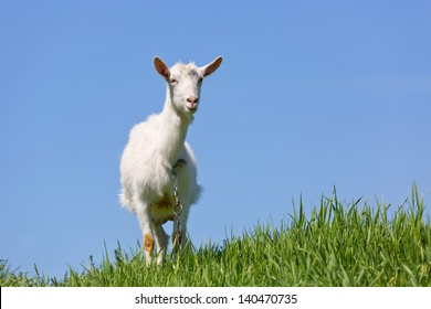 goat on green meadow with blue sky background