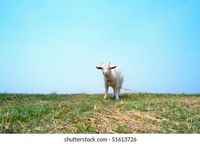 Goat on meadow